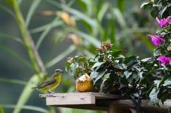 Lemon-rumped tanager next to banana in a garden Royalty Free Stock Photos