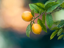 Lemon's tree Royalty Free Stock Images