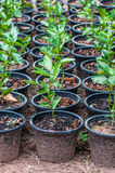 Lemon seedlings ready to be planted Stock Photo