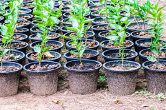 Lemon seedlings ready to be planted in pot Royalty Free Stock Photo