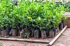 Lemon seedlings ready to be planted in pot Stock Photography
