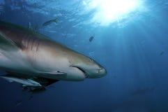 Lemon Shark. Cruising around a bait box Stock Image