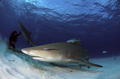 Lemon Shark Stock Images