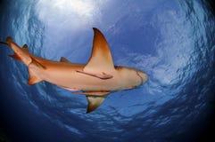 Lemon Shark. A lemon shark does a swim by in the Bahamas Stock Photos
