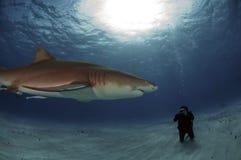 Lemon Shark. A diver photographs a lemon shark Stock Photography
