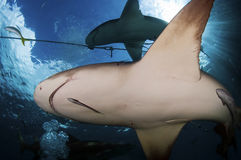 Lemon Shark. A pair of lemon sharks near the surface Stock Images