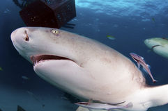 Lemon Shark Royalty Free Stock Images