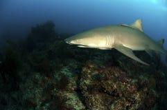 Lemon Shark Stock Images
