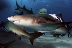 Lemon Shark. S are common shark at Tiger Beach Stock Photos