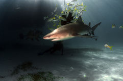 Lemon Shark. S are common shark at Tiger Beach Royalty Free Stock Photo