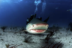 Lemon Shark Royalty Free Stock Image