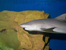 Lemon shark. (Negaprion brevirostris Stock Photography