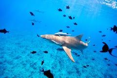 Lemon shark. Swims through fish in Pacific ocean Stock Photo