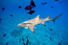 Lemon shark. Swims through fish in Pacific ocean Stock Photos