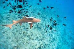 Lemon shark. Swims among fish in Pacific ocean Stock Photos