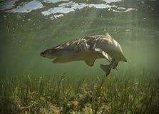 Lemon shark. In its natural habitat in the ocean Stock Image