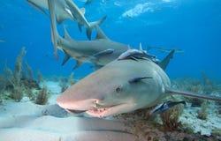Lemon Shark Stock Image