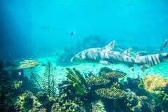 Lemon shark. It is a  lemon shark Royalty Free Stock Photography