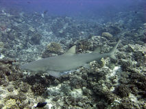 Lemon shark. A big lemon shark, not dangerous, in polynesian coral reef Royalty Free Stock Photo