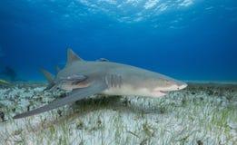 Lemon Shark Bahamas. Lemon shark swimming along the sandy bottom at Tiger Beach in the Bahamas, Grand Bahama Royalty Free Stock Photos