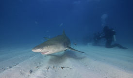 Lemon Shark Bahamas. Underwater view of a lemon shark swimming along a sandy bottom at the dive site called Tiger Beach off the island Grand Bahama, Bahamas Royalty Free Stock Images