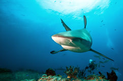 CARIBBEAN REEF SHARK Royalty Free Stock Image