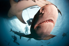 Lemon Shark Close Up Stock Images