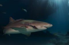 Lemon Shark. A close up of a lemon shark Stock Images