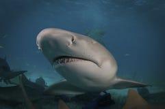 Lemon Shark. A close up of a lemon shark Royalty Free Stock Photography
