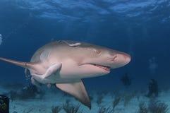 Lemon Shark. A close up of a lemon shark Stock Image