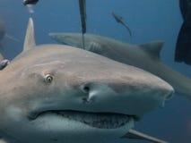 Lemon Shark. Close-up moving in to feed Jupiter, Florida Royalty Free Stock Photos
