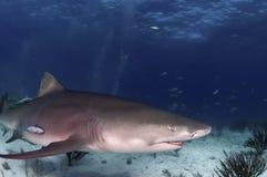 Lemon Shark. A lemon shark does a swim by in the tropics Royalty Free Stock Photos