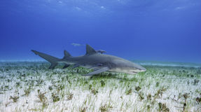 Lemon Shark Grand Bahama, Bahamas. Lemon shark swimming along a sea grass covered sandy bottom, at the dive site called Tiger Beach in the Bahamas Royalty Free Stock Photos