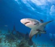 Lemon shark. Group of Lemon shark. Tiger beach.Bohamas Royalty Free Stock Photo