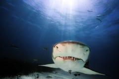 Lemon shark. Head of lemon shark, bahamas Stock Image