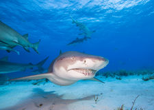 Lemon shark Royalty Free Stock Photos