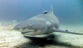 Lemon Shark. Investigating divers in Jupiter, Florida Stock Photography