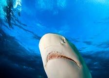 Lemon shark. Jaws of Lemon shark in detail Stock Photos