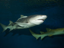Lemon shark with Live sharksucker. Lemon shark (Negaprion brevirostris) with Live sharksucker (Echeneis naucrates Stock Photo