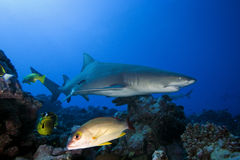 LEMON SHARK/negaprion acutidens Royalty Free Stock Image