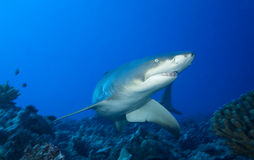 LEMON SHARK / negaprion acutidens Royalty Free Stock Image