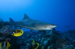 LEMON SHARK/ negaprion acutidens Stock Photo