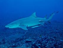 Lemon shark (Negaprion brevirostris) Stock Image