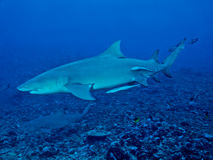 Lemon shark (Negaprion brevirostris). From Moorea island, Tahiti, French Polynesia stock image