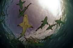 Lemon Shark Pack Royalty Free Stock Photography