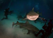 Lemon Shark. A pack of leomon shark Stock Photo