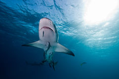 Lemon shark and remora fish Stock Images
