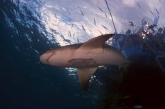 Lemon Shark. A lemon shrk swimming near the surface Stock Images