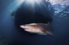 Lemon Shark in the sunlit waters of the Bahamas. A lemon shark swimming under at boat royalty free stock photo