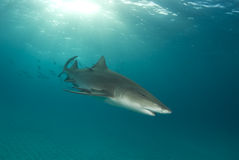Lemon Shark Swimming Stock Images